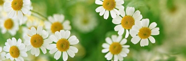 Kamilla virág - Kamilla tea